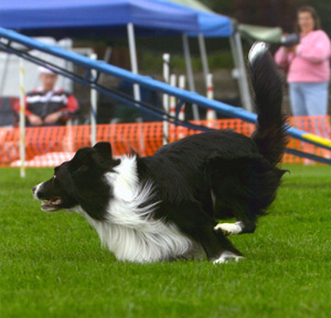 March 28, 2004 - Fable wins High Scoring Agility dog at Washington State Obedience Training Club Trial